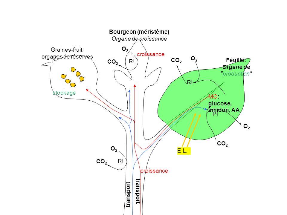 Graines-fruit: organes de réserves Bourgeon (méristème) Organe de croissance Feuille: Organe de