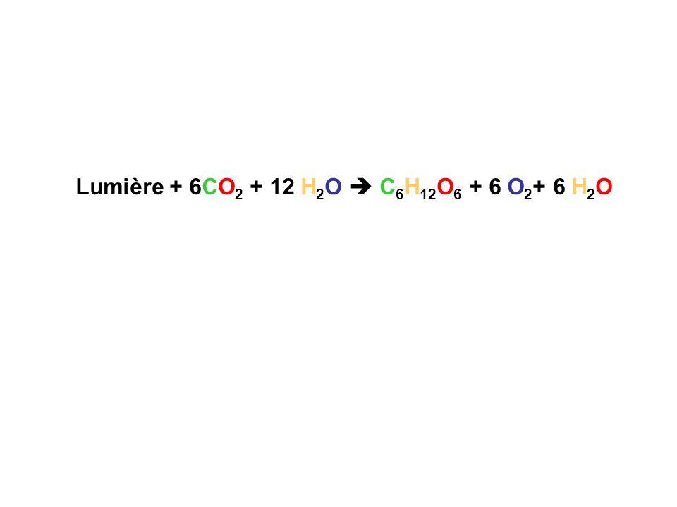Lumière + 6CO 2 + 12 H 2 O C 6 H 12 O 6 + 6 O 2 + 6 H 2 O