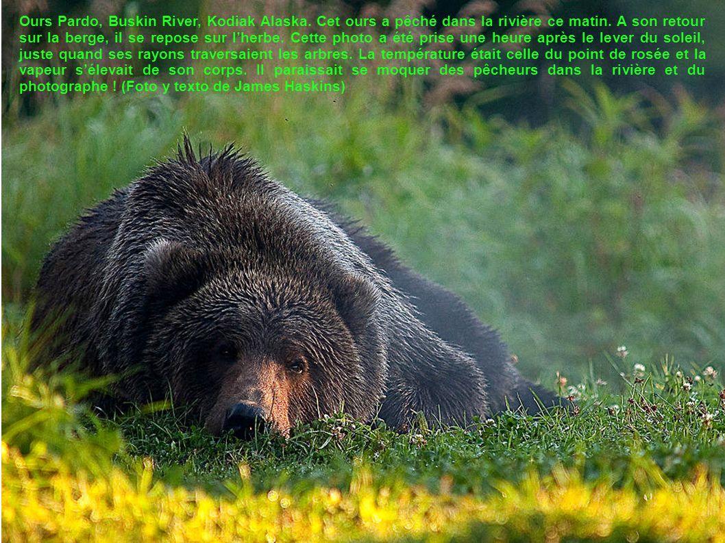 Ours Pardo, Buskin River, Kodiak Alaska.Cet ours a pêché dans la rivière ce matin.