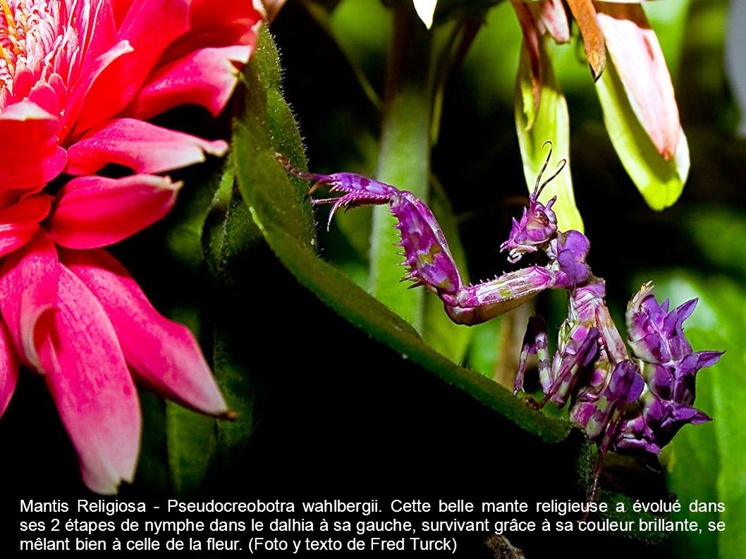 Mantis Religiosa - Pseudocreobotra wahlbergii.