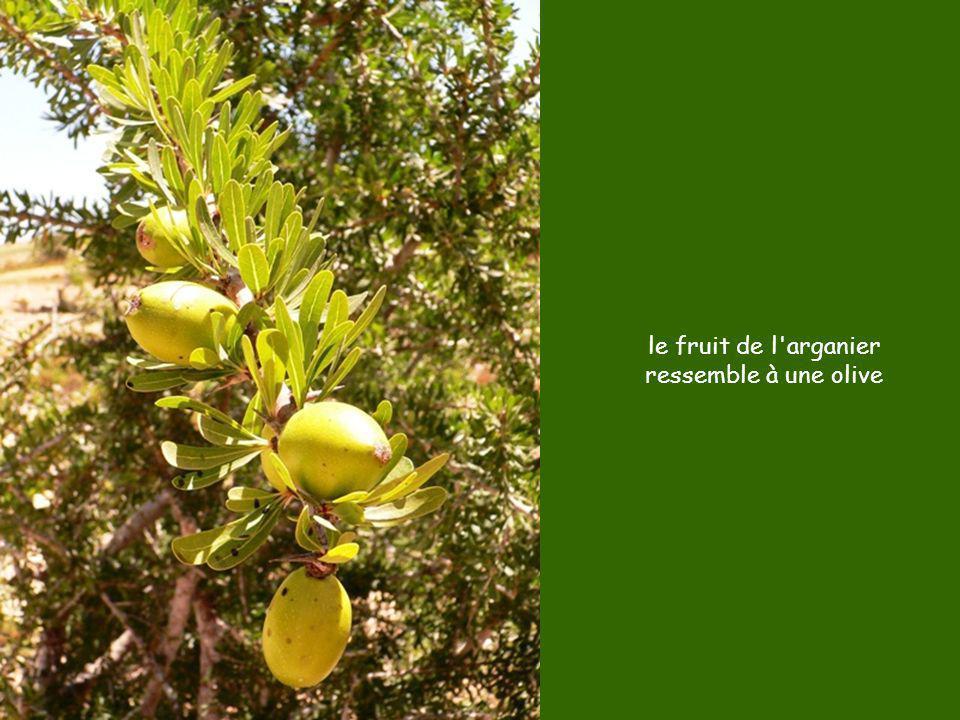 le fruit de l'arganier ressemble à une olive