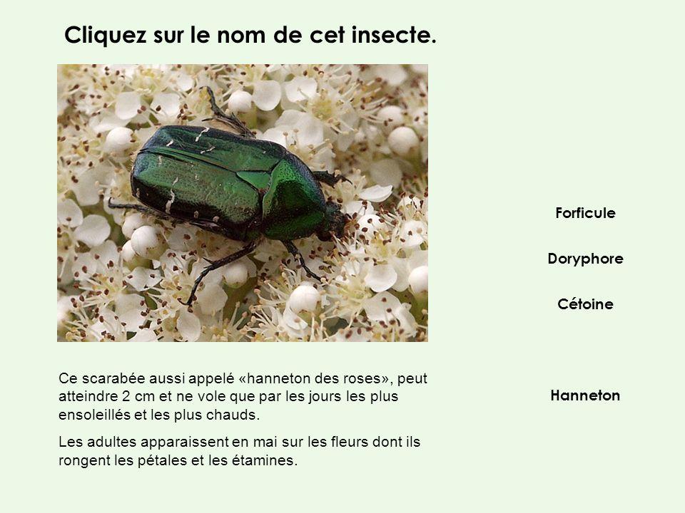Doryphore Forficule Hanneton Cétoine Ce scarabée aussi appelé «hanneton des roses», peut atteindre 2 cm et ne vole que par les jours les plus ensoleil
