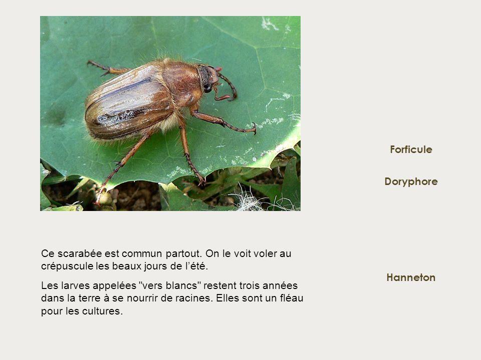 Doryphore Forficule Hanneton Ce scarabée est commun partout. On le voit voler au crépuscule les beaux jours de lété. Les larves appelées