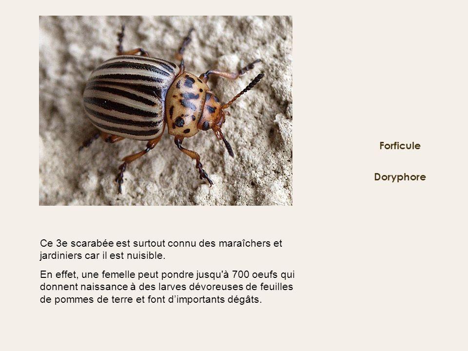 Doryphore Forficule Ce 3e scarabée est surtout connu des maraîchers et jardiniers car il est nuisible. En effet, une femelle peut pondre jusqu'à 700 o