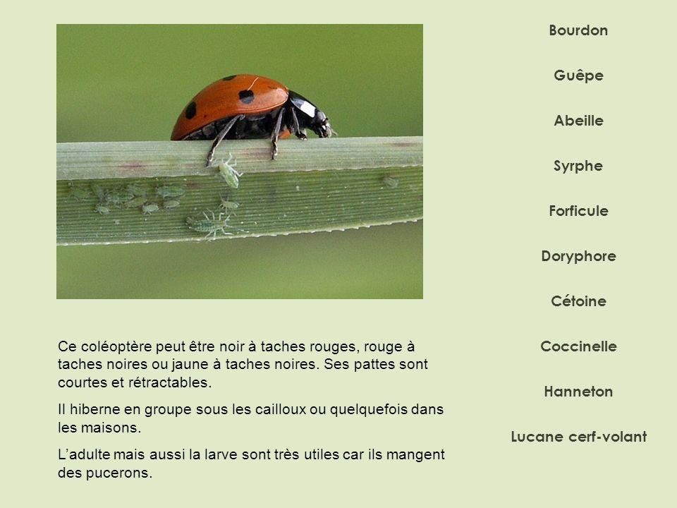 Bourdon Abeille Syrphe Doryphore Forficule Coccinelle Hanneton Lucane cerf-volant Guêpe Cétoine Ce coléoptère peut être noir à taches rouges, rouge à