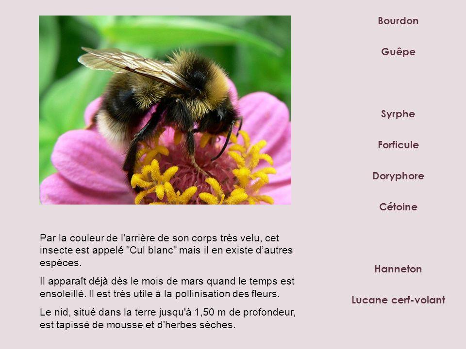 Bourdon Syrphe Doryphore Forficule Hanneton Lucane cerf-volant Guêpe Cétoine Par la couleur de l'arrière de son corps très velu, cet insecte est appel