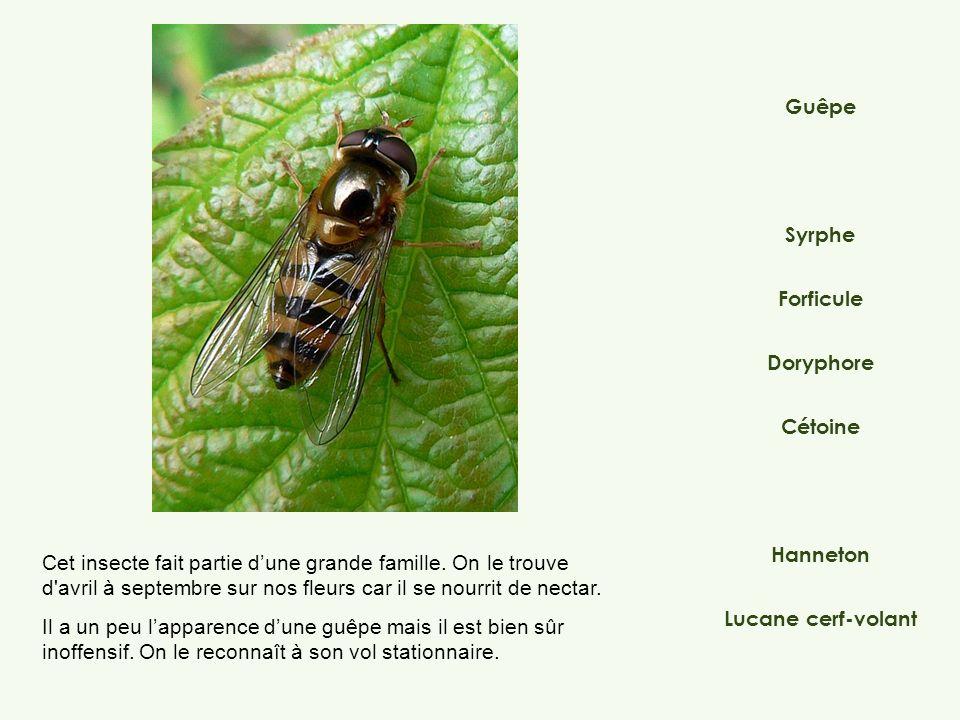 Syrphe Doryphore Forficule Hanneton Lucane cerf-volant Guêpe Cétoine Cet insecte fait partie dune grande famille. On le trouve d'avril à septembre sur