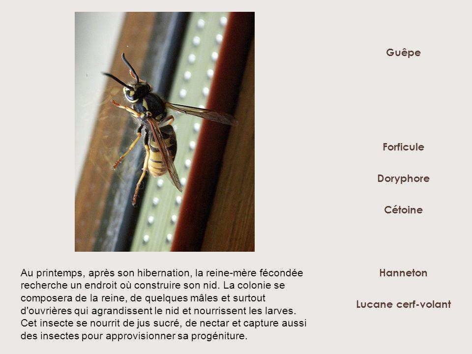 Doryphore Forficule Hanneton Lucane cerf-volant Guêpe Cétoine Au printemps, après son hibernation, la reine-mère fécondée recherche un endroit où cons