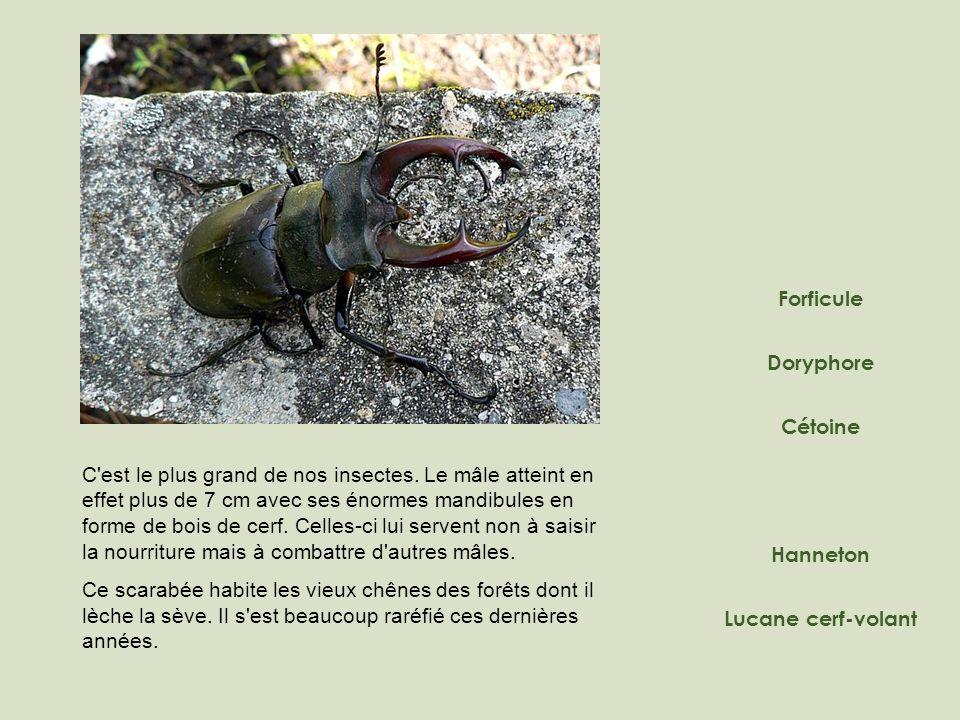 Doryphore Forficule Hanneton Lucane cerf-volant Cétoine C'est le plus grand de nos insectes. Le mâle atteint en effet plus de 7 cm avec ses énormes ma