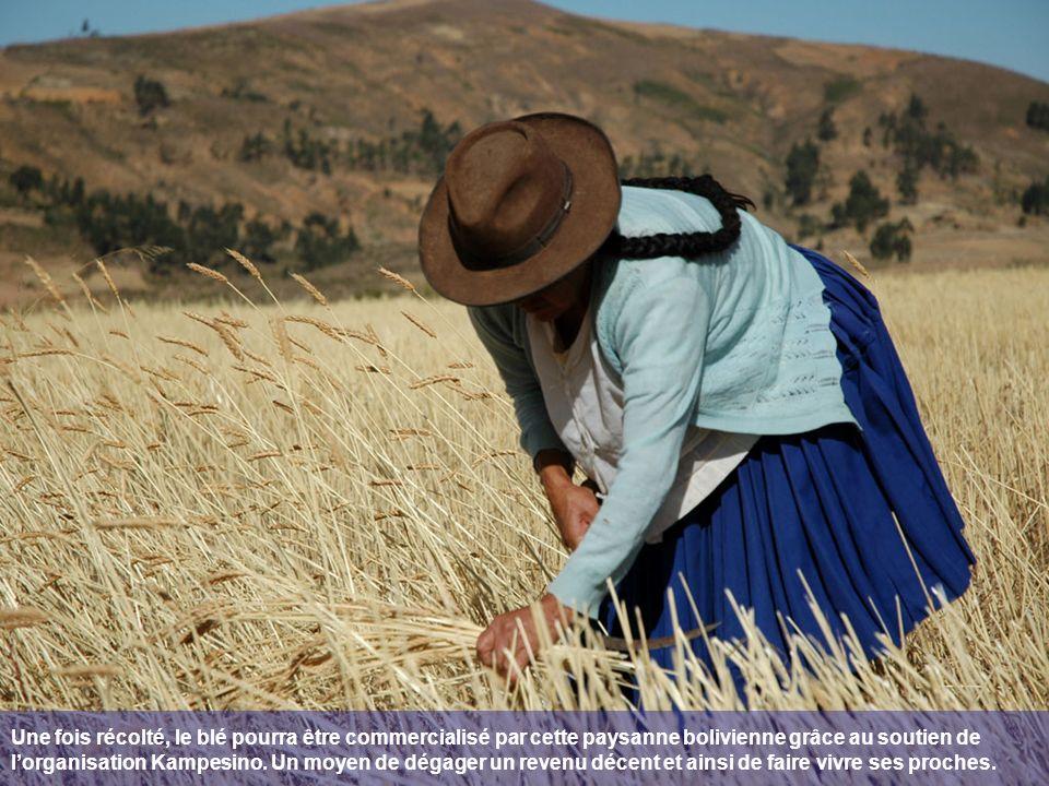 Une fois récolté, le blé pourra être commercialisé par cette paysanne bolivienne grâce au soutien de lorganisation Kampesino.