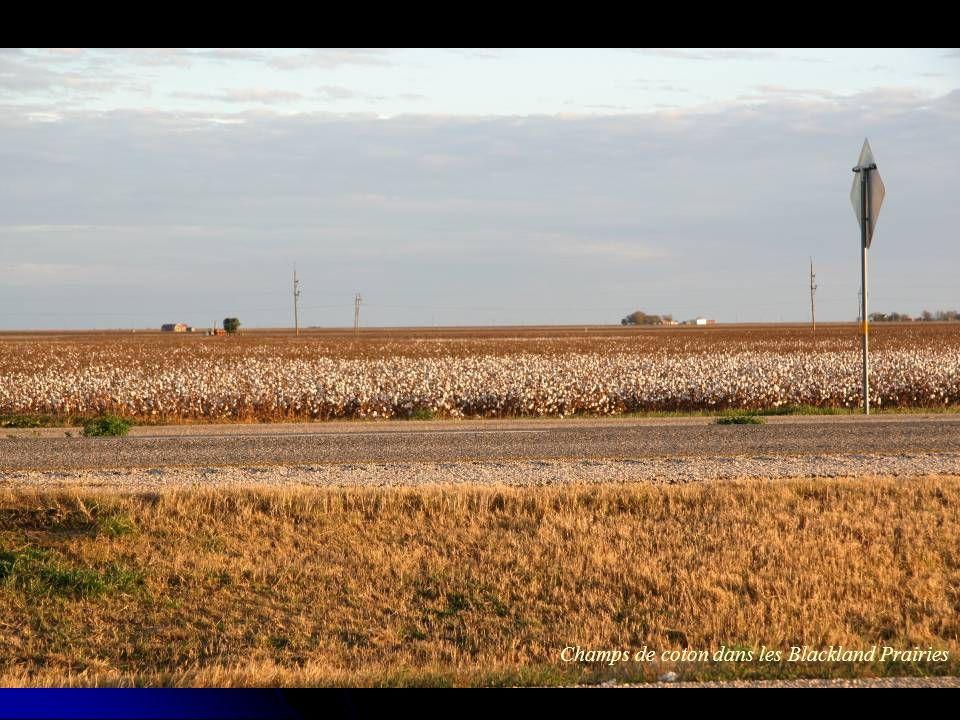 Champs de coton dans les Blackland Prairies