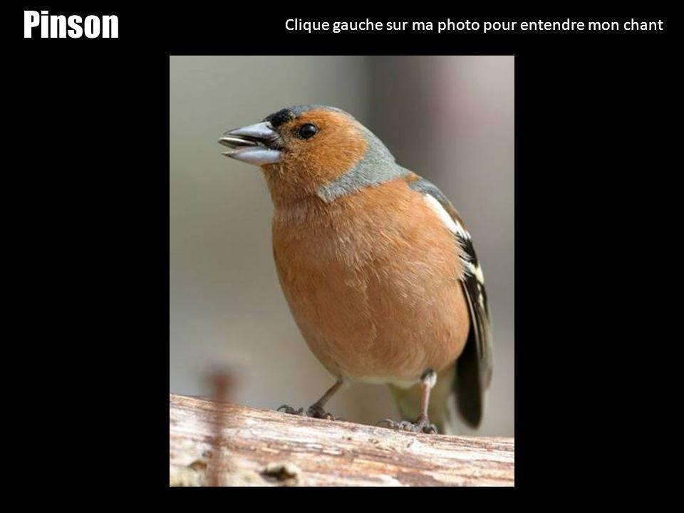 Moineau Clique gauche sur ma photo pour entendre mon chant