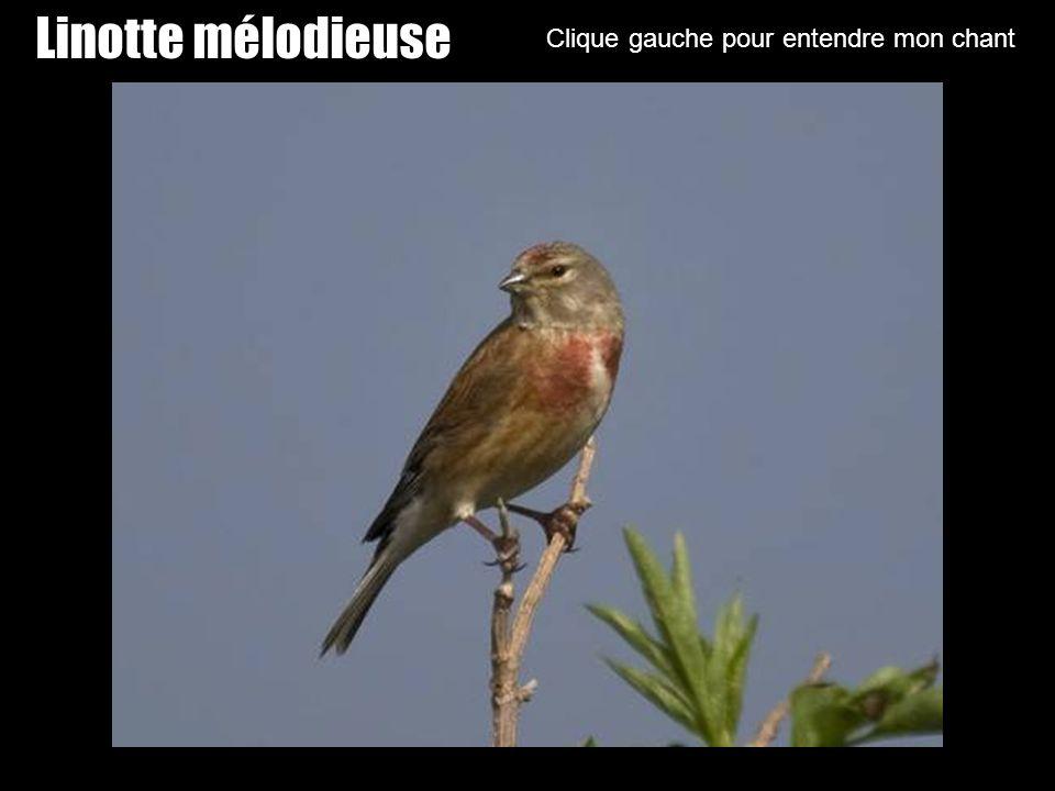 Huppe Clique gauche sur ma photo pour entendre mon chant