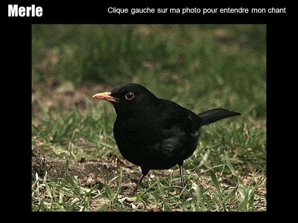 Martinet Clique gauche sur ma photo pour entendre mon chant
