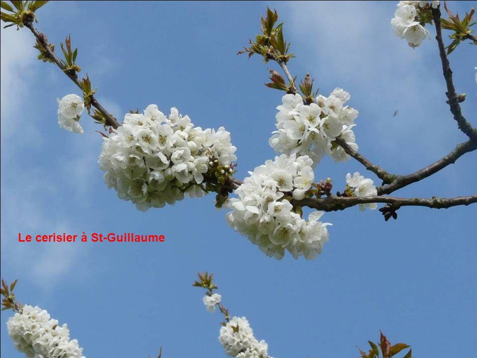 Le cerisier à St-Guillaume