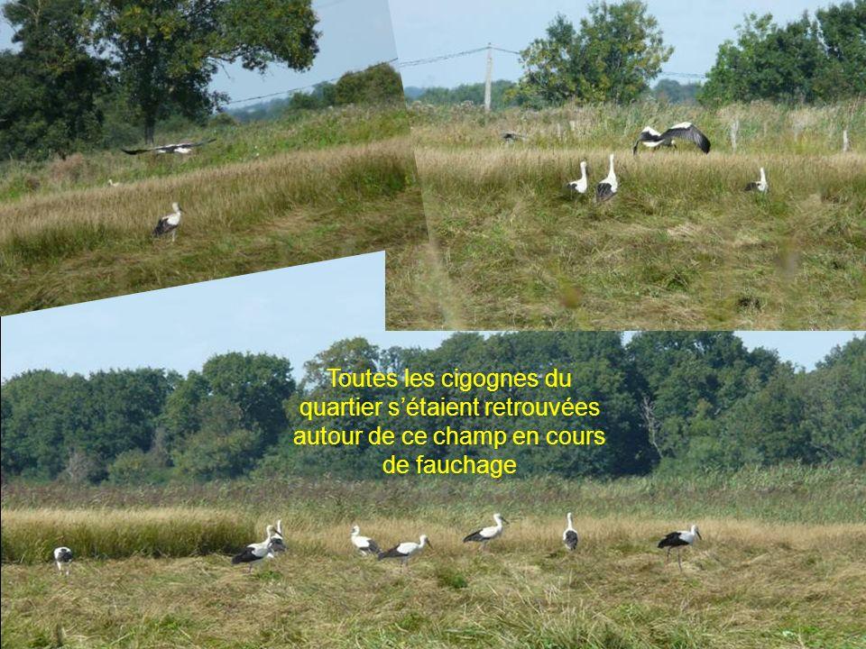 Toutes les cigognes du quartier sétaient retrouvées autour de ce champ en cours de fauchage