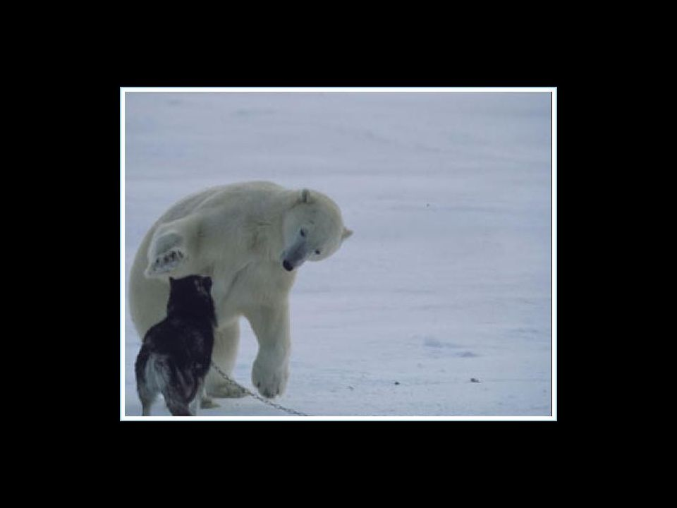 L'ours polaire est revenu toutes les nuits durant la semaine pour jouer avec les chiens… L'ours polaire est revenu toutes les nuits durant la semaine