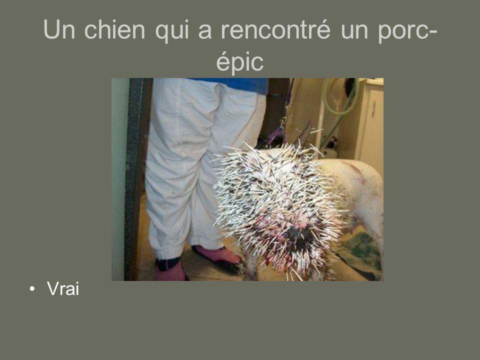 Un chien qui a rencontré un porc- épic Vrai