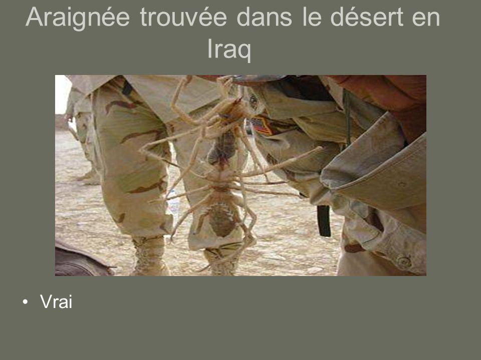 Araignée trouvée dans le désert en Iraq Vrai