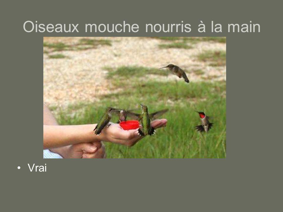 Oiseaux mouche nourris à la main Vrai
