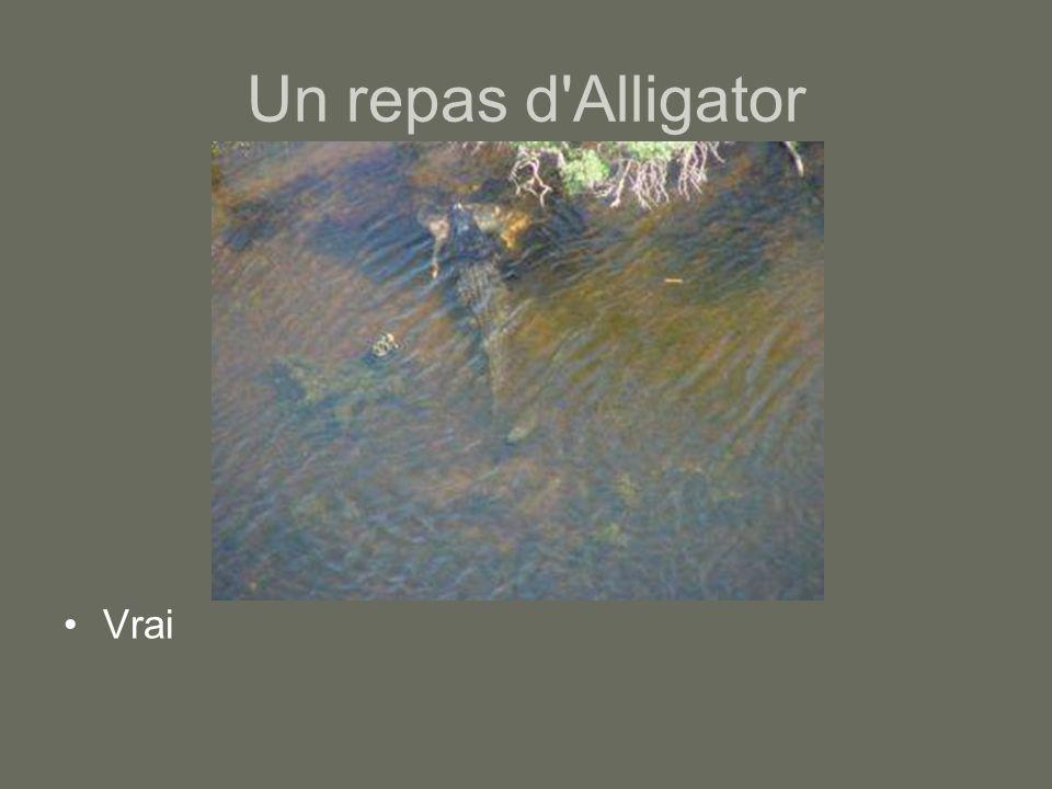 Un repas d'Alligator Vrai