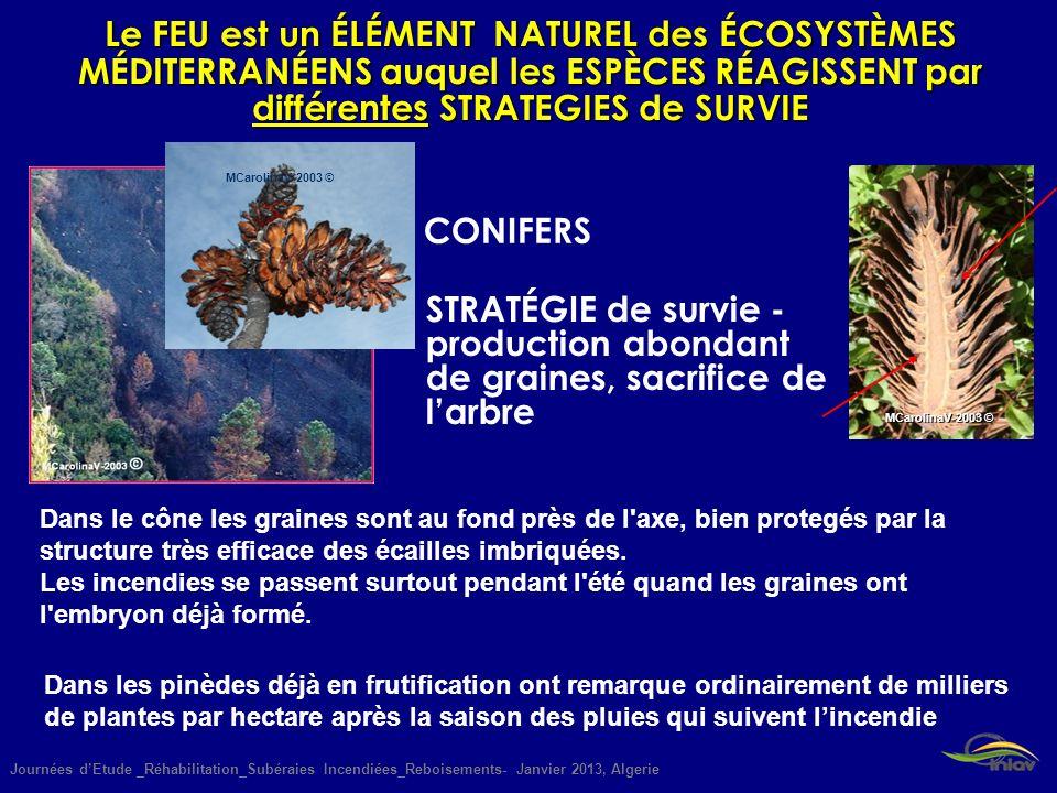 Journées dEtude _Réhabilitation_Subéraies Incendiées_Reboisements- Janvier 2013, Algerie MCarolinaV-2003 © CONIFERS STRATÉGIE de survie - production a
