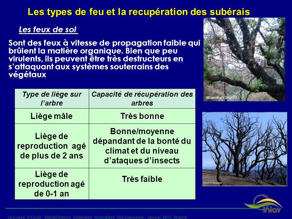 MCarolinaV-2003 © - Journées dEtude _Réhabilitation_Subéraies Incendiées_Reboisements- Janvier 2013, Algerie Type de liège sur larbre Capacité de récu