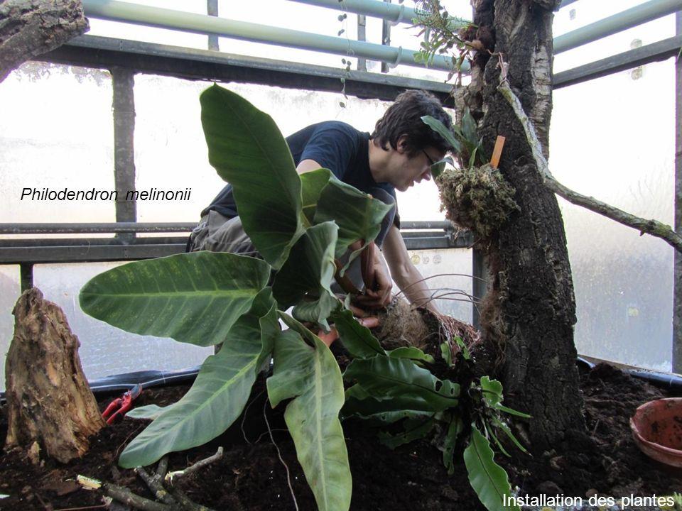 Installation des plantes Philodendron melinonii
