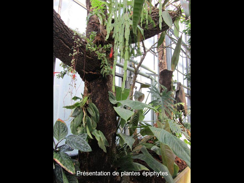 Présentation de plantes épiphytes