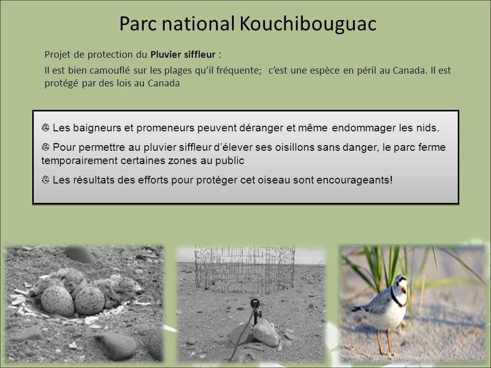 Parc national Kouchibouguac Projet de protection du Pluvier siffleur : Il est bien camouflé sur les plages quil fréquente; cest une espèce en péril au