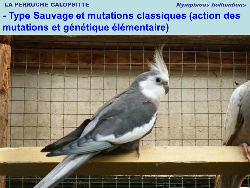 LA PERRUCHE CALOPSITTE Nymphicus hollandicus © 12.2008 Thierry DULIERE - Type Sauvage et mutations classiques (action des mutations et génétique élémentaire)