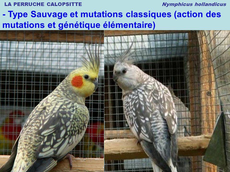 LA PERRUCHE CALOPSITTE Nymphicus hollandicus © 02.2007 Thierry DULIERE - Type Sauvage et mutations classiques (action des mutations et génétique élémentaire)