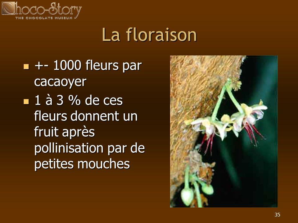 35 La floraison +- 1000 fleurs par cacaoyer +- 1000 fleurs par cacaoyer 1 à 3 % de ces fleurs donnent un fruit après pollinisation par de petites mouc