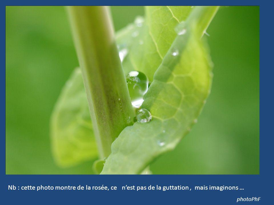 photoPhF Nb : cette photo montre de la rosée, ce nest pas de la guttation, mais imaginons …