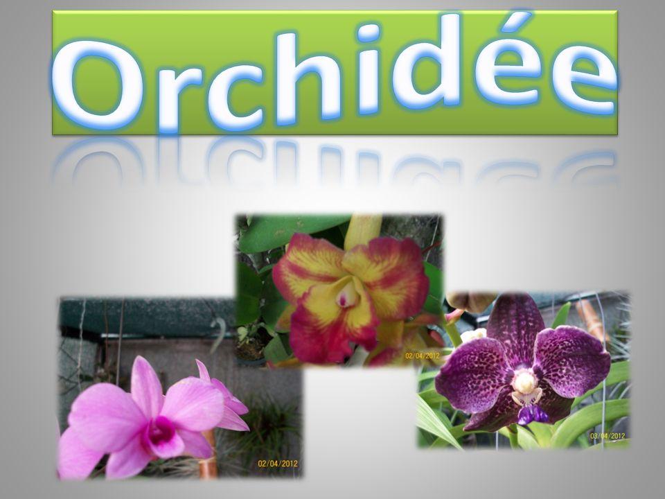 Installée parmi beaucoup dautres plantes, les pots très près les uns des autres, votre orchidée profitera d un micro-climat humide : vous la verrez bientôt tendre des racines « gourmandes » vers les pots voisins ou le lit de billes dargile bien mouillées.