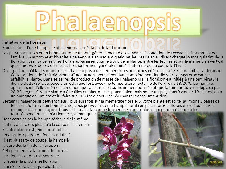 Initiation de la floraison Ramification d une hampe de phalaenopsis après la fin de la floraison Les plantes matures et en bonne santé fleurissent généralement d elles mêmes à condition de recevoir suffisamment de lumière.