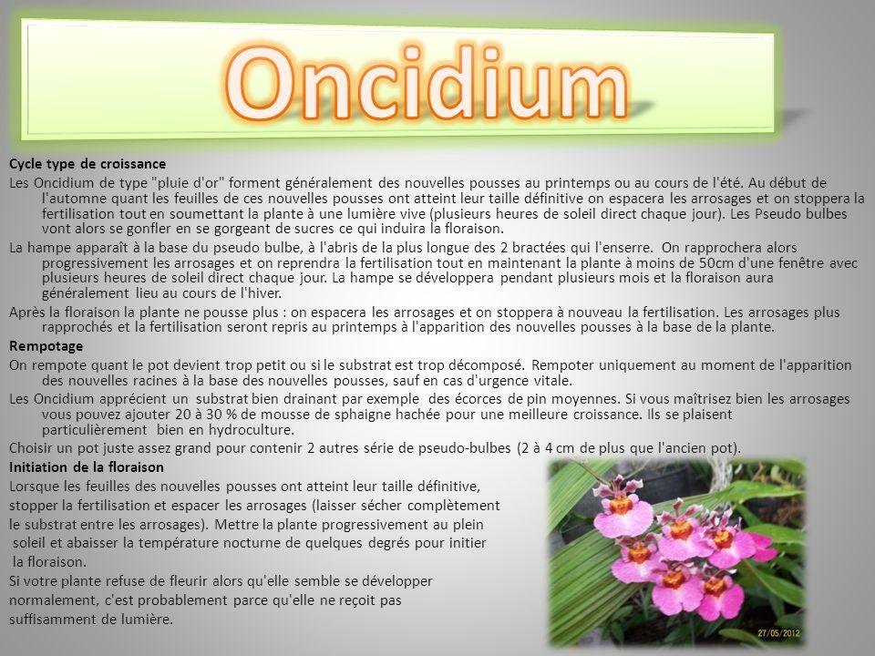 Cycle type de croissance Les Oncidium de type pluie d or forment généralement des nouvelles pousses au printemps ou au cours de l été.