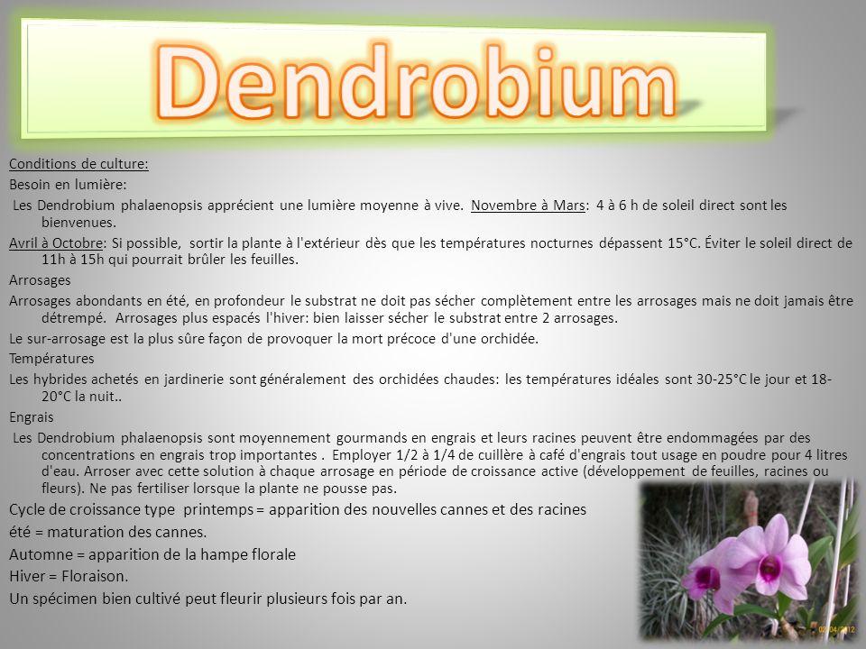 Conditions de culture: Besoin en lumière: Les Dendrobium phalaenopsis apprécient une lumière moyenne à vive.