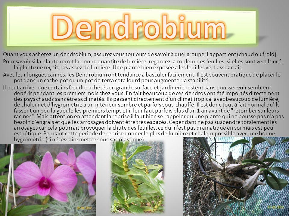 Quant vous achetez un dendrobium, assurez vous toujours de savoir à quel groupe il appartient (chaud ou froid).
