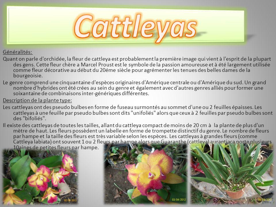 Généralités: Quant on parle d orchidée, la fleur de cattleya est probablement la première image qui vient à l esprit de la plupart des gens.
