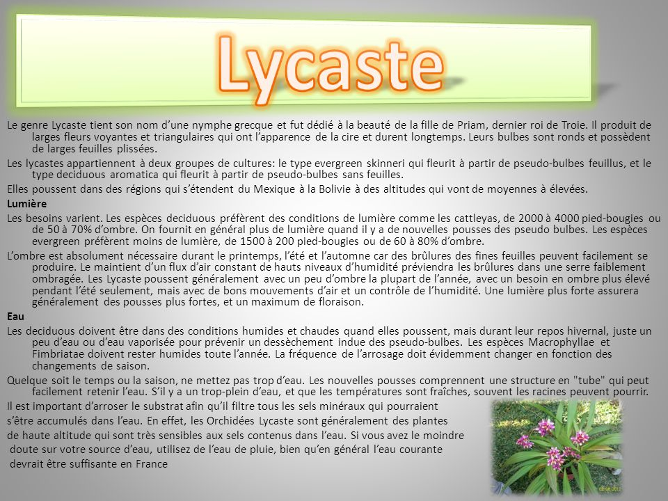 Le genre Lycaste tient son nom dune nymphe grecque et fut dédié à la beauté de la fille de Priam, dernier roi de Troie.