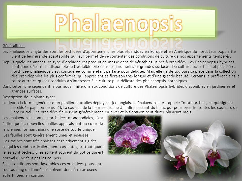 Généralités: Les Phalaenopsis hybrides sont les orchidées d appartement les plus répandues en Europe et en Amérique du nord.