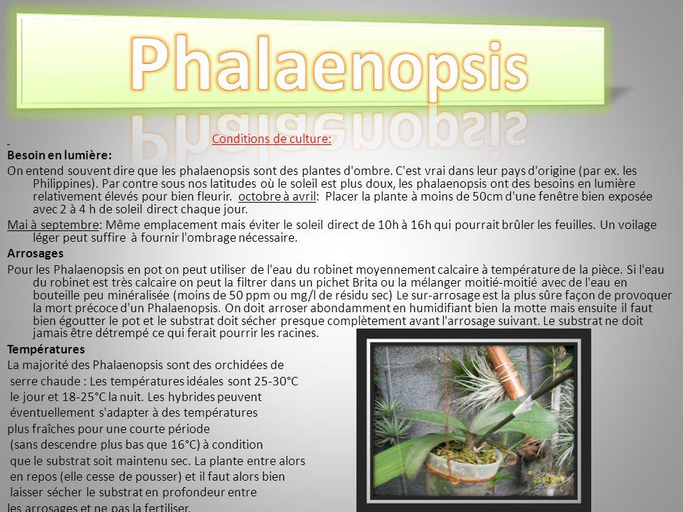 Conditions de culture: Besoin en lumière: On entend souvent dire que les phalaenopsis sont des plantes d ombre.