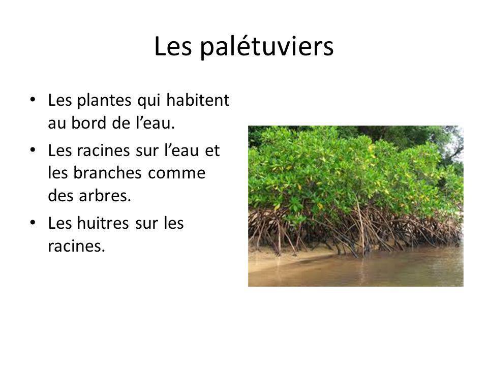 Les palétuviers Les plantes qui habitent au bord de leau. Les racines sur leau et les branches comme des arbres. Les huitres sur les racines.
