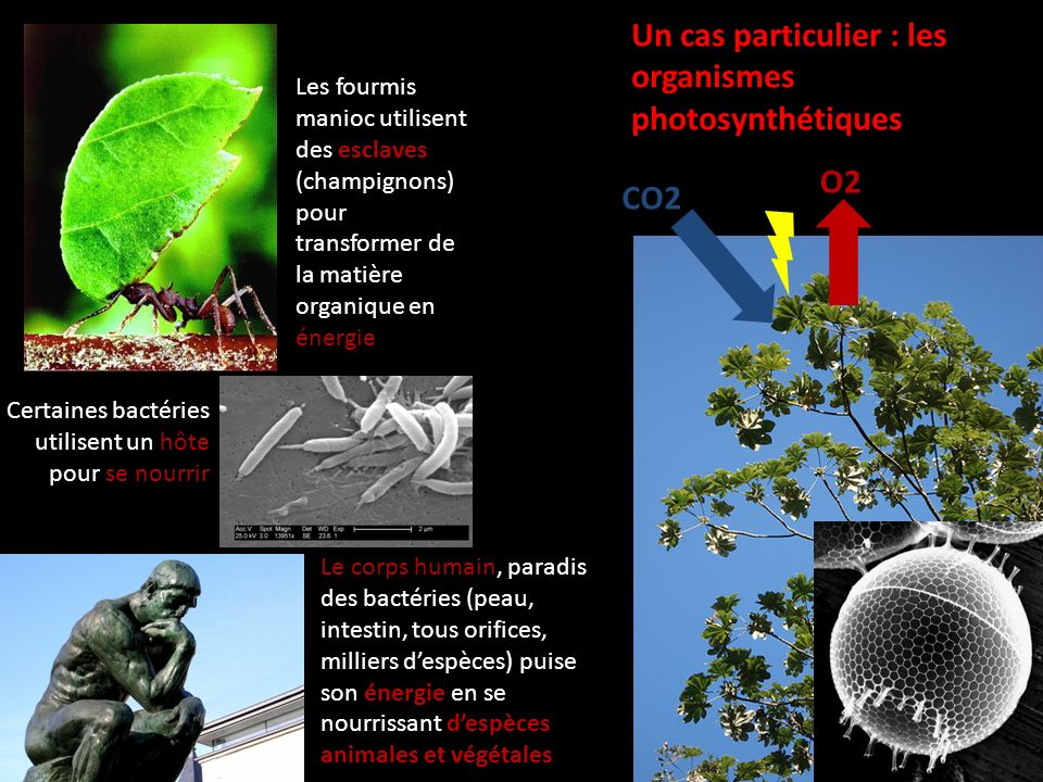 Les fourmis manioc utilisent des esclaves (champignons) pour transformer de la matière organique en énergie Certaines bactéries utilisent un hôte pour se nourrir Le corps humain, paradis des bactéries (peau, intestin, tous orifices, milliers despèces) puise son énergie en se nourrissant despèces animales et végétales Un cas particulier : les organismes photosynthétiques CO2 O2