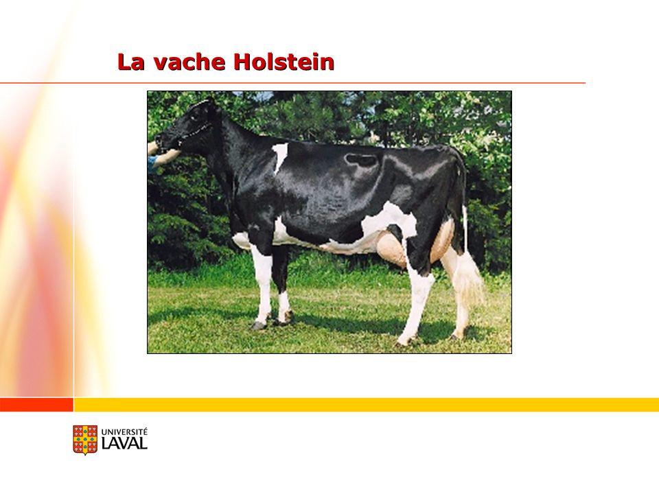 La vache Holstein