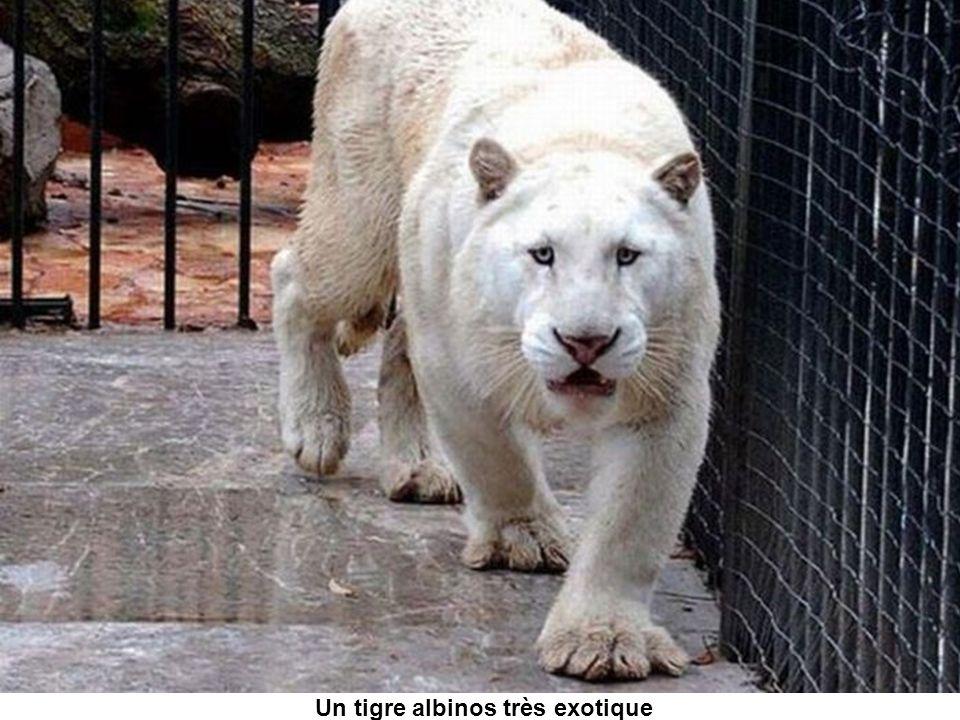 Un tigre albinos très exotique