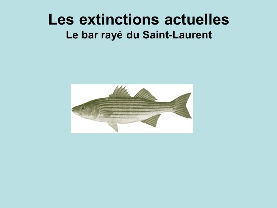 Les extinctions actuelles Le bar rayé du Saint-Laurent