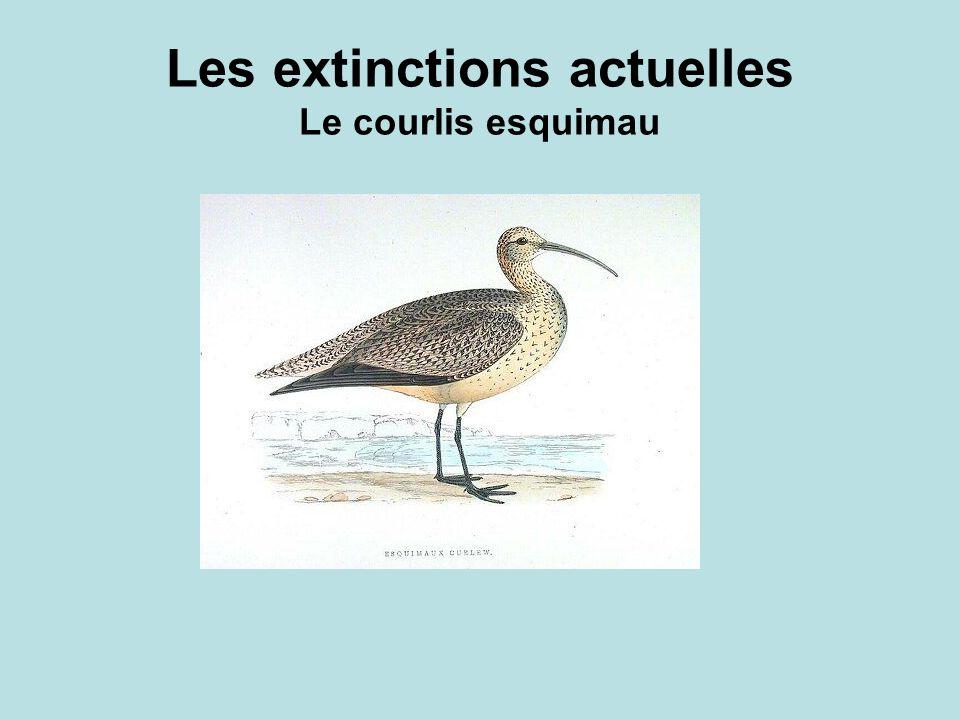 Les extinctions actuelles Le courlis esquimau