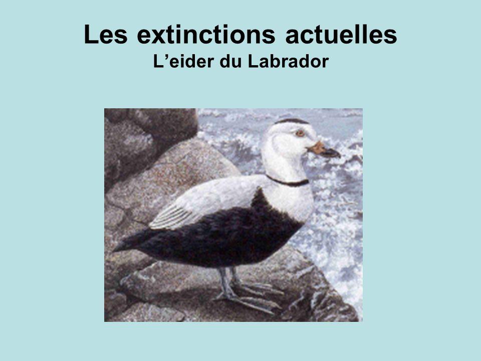 Les extinctions actuelles Leider du Labrador